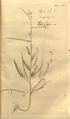 Cleome monophylla-Hortus Malabaricus-V9-T34.png
