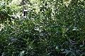 Clethra alnifolia 23zz.jpg