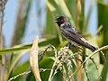 Cliff Swallow - juvenile (29135097067).jpg