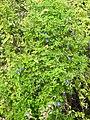 Clitoria ternatea plant by Dr. Raju Kasambe DSCN1309 (15).jpg