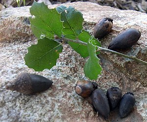 Quercus agrifolia - Acorns and leaves