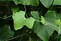Coccinia grandis (49546781636).jpg