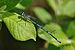 Coenagrion puella qtl2.jpg