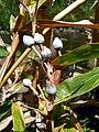 Coix lacrima-jobi (Poaceae) 05.jpg