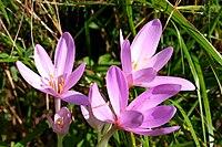 Colchicum autumnale ENBLA03.jpeg