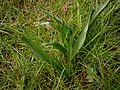 Colchicum hungaricum leaves 04.jpg