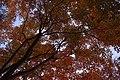 Coloured maples leaves -3 (8225770334).jpg