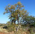 Combretum apiculatum, habitus, Steenbokpan, a.jpg