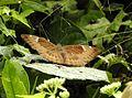 Common Baron Euthalia aconthea by Dr. Raju Kasambe DSCN1784 (6).jpg