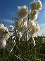 Common Bog Cotton - geograph.org.uk - 841110.jpg