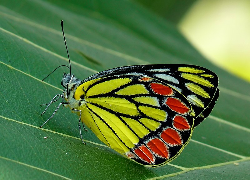 File:Common Jezebel Delias eucharis edit by kadavoor.jpg