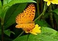 Common Lepoard Phalanta phalantha by Dr. Raju Kasambe DSCN0042 (6).jpg