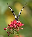 Common Mime - Papilio clytia (dissimilis form) on Jatropha panduraefolia in Kolkata Iws IMG 0249.jpg