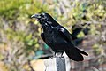 Common Raven Muir Beach Marin CA 2018-09-20 14-09-18 (44970470964).jpg