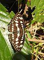 Common Sergeant Athyma perius by Dr. Raju Kasambe DSCN7059 (4).JPG