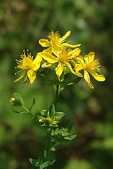 Common St Johns Wort - geograph.org.uk - 1382488.jpg