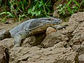 Common Water Monitor (Varanus salvator macromaculatus) (8067329042).jpg