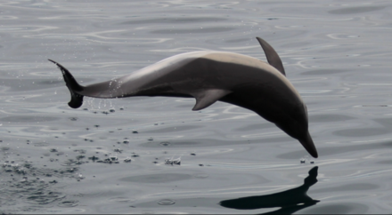 A common dolphin in the Bay of Gibraltar Common dolphin taken by Graham Hesketh of Dolphin Safari.png