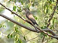 Common hawk cuckoo (Hierococcyx varius) 2.jpg