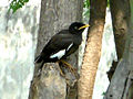 Common myna (Juvenile) spotted at Madhurawada 05.jpg