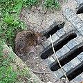 Common rat in Bystrc B.jpg