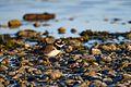 Common ringed plover lake geneva-2.jpg