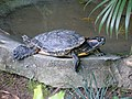 Common slider turtle (7987406544).jpg