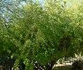 Condalia globosa 1.jpg