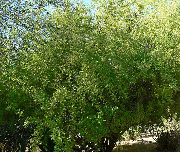 File:Condalia globosa 1.jpg