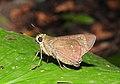 Conjoined Swift Pelopidas conjuncta by Dr. Raju Kasambe DSCN0738 (4).jpg