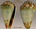 Conus bocagei 1.jpg