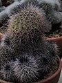 Copiapoa serpentisulcata flower.jpg