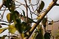 Coppersmith Barbet (45719156935).jpg
