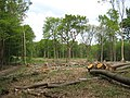 Coppiced area in Farningham Woods - geograph.org.uk - 1302780.jpg