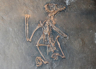 Coraciiformes - Extinct kingfisher from the Messel Pit