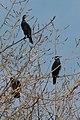 Cormorans - panoramio.jpg