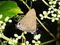 Cornelian Deudorix epijarbas Sanjay Gandhi national Park, Mumbai DSCF3078 (1).JPG