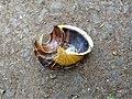 Cornu aspersum. Detail of the snail broken by a thrush. Garden Snail.jpg
