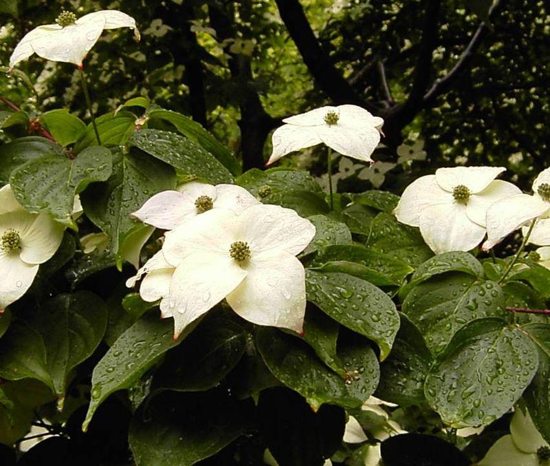 feuilles et fleurs du cornouiller du japon