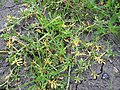 Coronopus squamatus plant (10).jpg