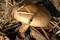 Cortinarius.turmalis.-.lindsey.jpg