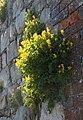 Corydalis, Avebury - geograph.org.uk - 1346087.jpg