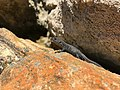 Corylus niger.jpg