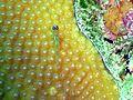 Coryphopterus lipernes1.jpg