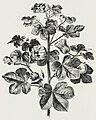 Cotton Plant (1878) - TIMEA.jpg