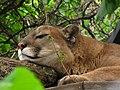 Cougar 3 (9112358230).jpg