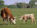 Cow and calf, Dilton Farm - geograph.org.uk - 408523.jpg