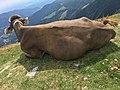 Cow on Monte Generoso b.jpg