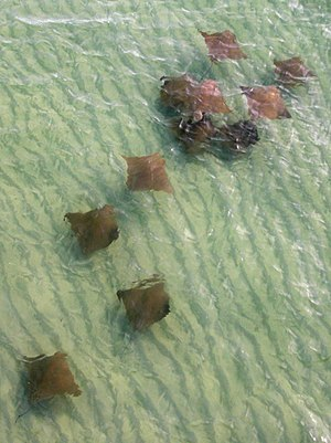 Cownose ray - Cownose rays swimming in shallows in the Gulf of Mexico