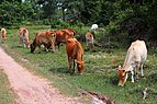 Cows on the road in Ream.jpg